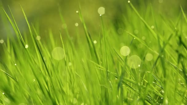 Dew drops on the grass shining in the morning rays of sun. Grass waving in the wind. Blurred Background. Green Spring Environment concept. Vibrant green grass close-up. Green grass abstract background