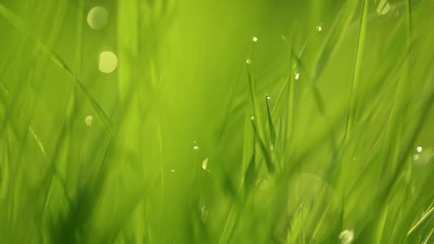 Dew csepp a fűre ragyog a reggeli napsugarak. Fű integet a szélben. Elmosódott háttér. Zöld Tavaszi Környezetvédelmi koncepció. Élénk zöld fű közelkép.