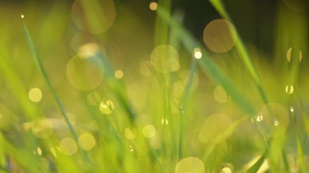 V ranních paprscích slunce se na trávu lesknou kapky rosy. Tráva se vlní ve větru. Rozmazané pozadí. Green Spring Environment koncept.