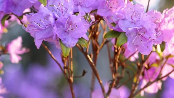 Rózsaszín rododendron virágok elmosódott háttérrel. Természetes háttér. Közelkép a gyönyörű rózsaszín azáleák virágok tavasszal.