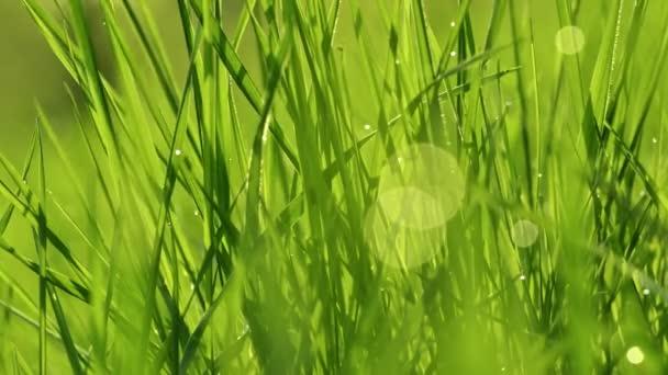 V ranních paprscích slunce se na trávu lesknou kapky rosy. Tráva se vlní ve větru. Rozmazané pozadí. Green Spring Environment koncept. Zářící zelená tráva zblízka. Bujná zelená tráva makro.
