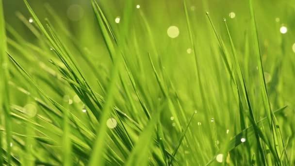 V ranních paprscích slunce se na trávu lesknou kapky rosy. Tráva se vlní ve větru. Rozmazané pozadí. Green Spring Environment koncept. Zářící zelená tráva zblízka. Světle zelená tráva zavřít.
