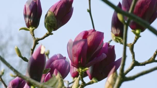 Magnólie květiny květ na stromě