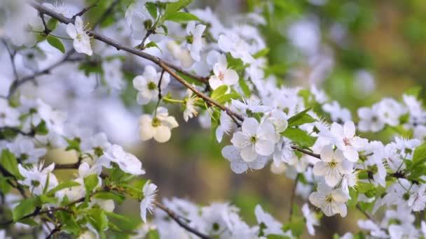 Sakuro, květy třešní na jaře.