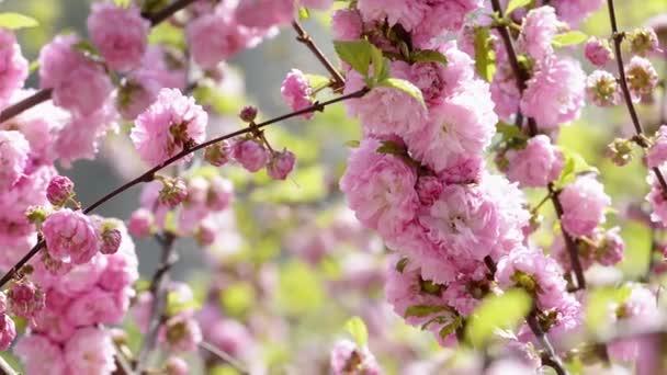 Pink sakura flowers blooming close-up