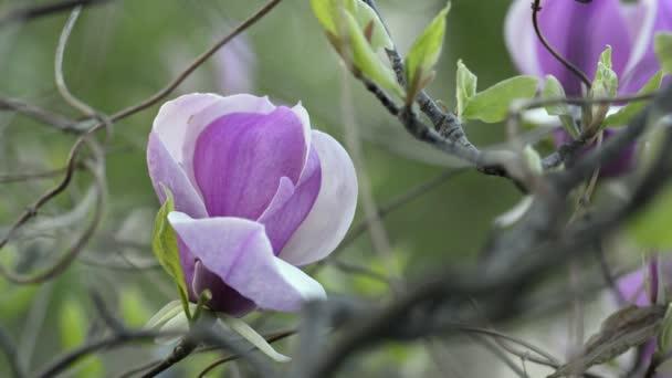 Magnólie kvete na větvi stromu