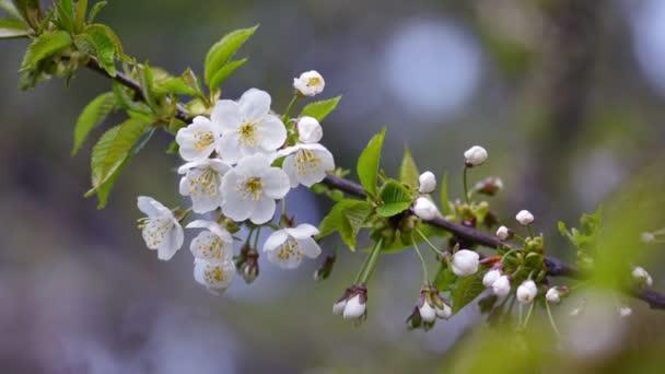 a virágzó almafa ága