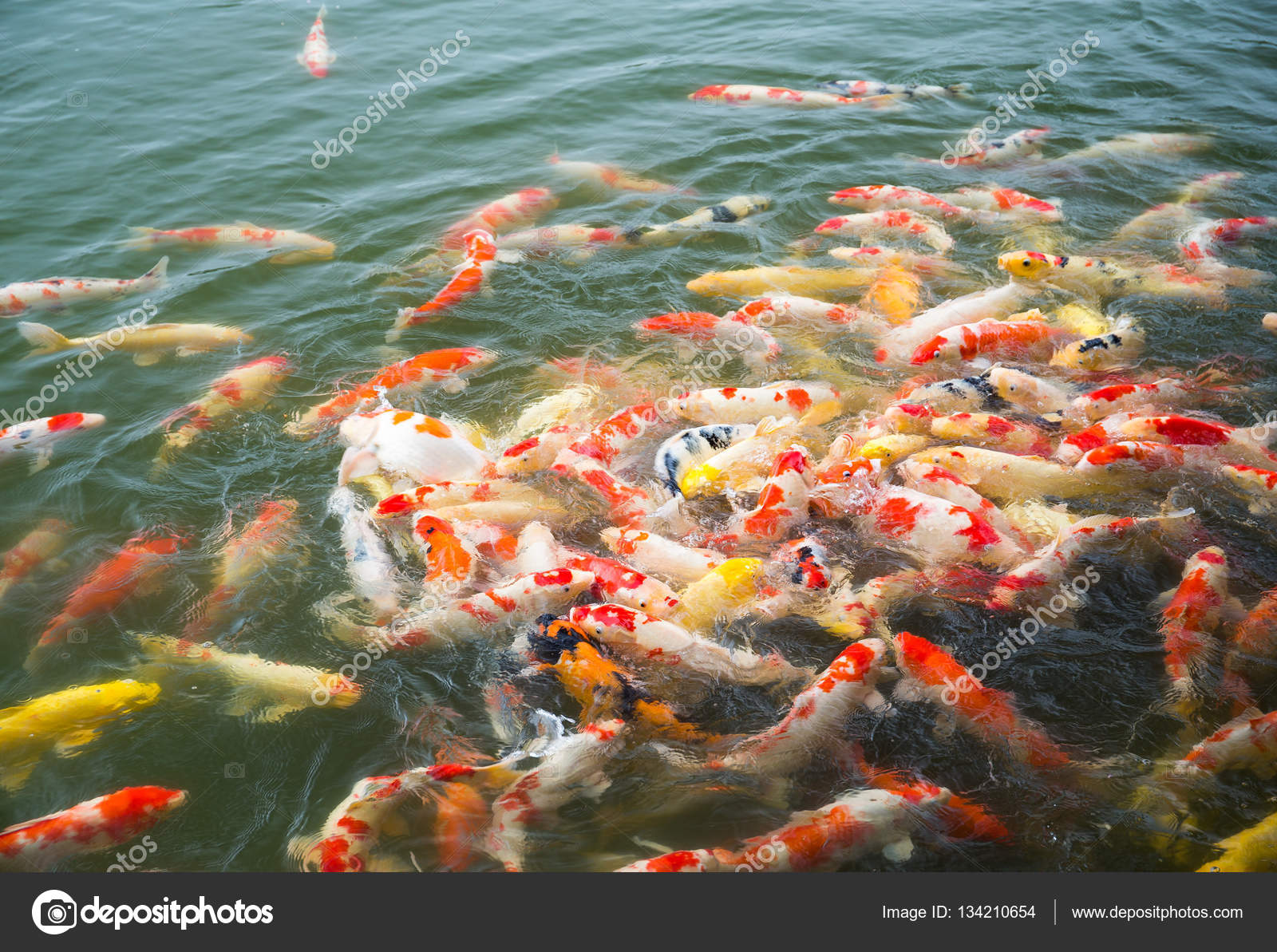 Carpes koi japon dans tang de koi photographie for Koi pond supply of japan
