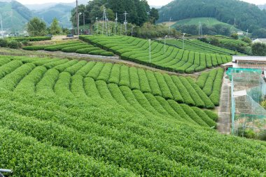 Tea plantation farm