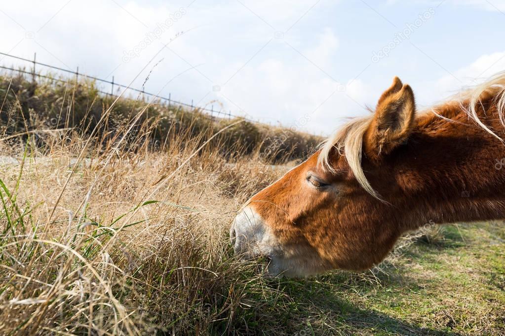 Saddle horse eating grass