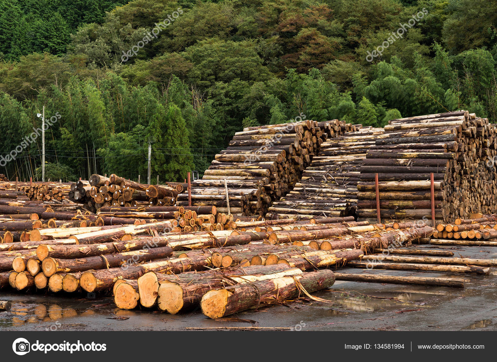 Forest Pine Trees For Timber Industry Stock Photo