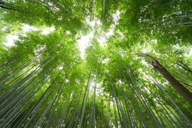 Looking up at lush green bamboo tree canopy