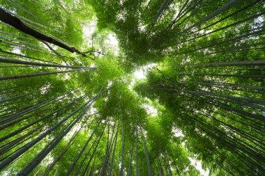Bamboo green garden