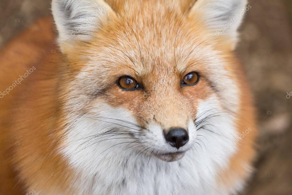 Close up of red fox