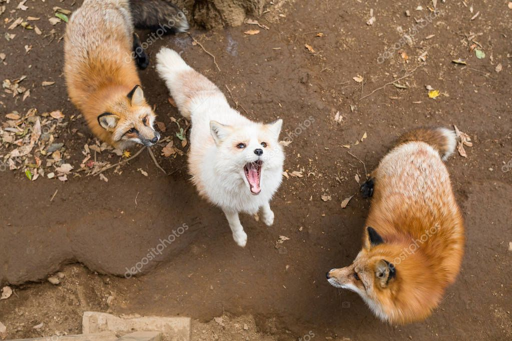 Foxes fighting in forest