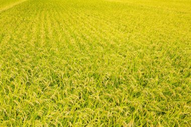 Paddy Rice field meadow