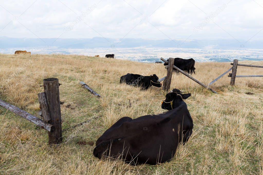Cattle herd lying on meadow