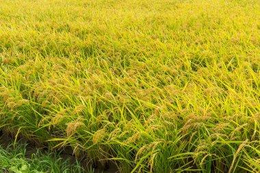 Paddy rice meadow field