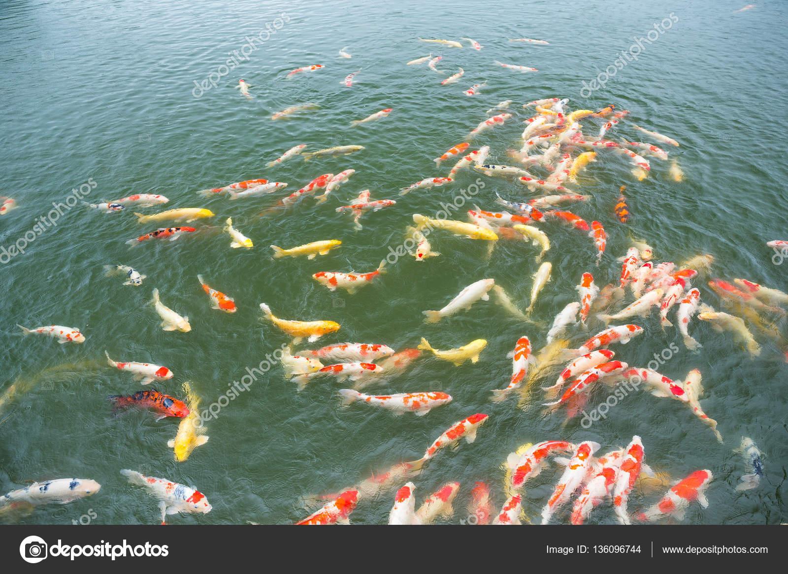 Multicoloured koi fish in pond — Stock Photo © leungchopan #136096744