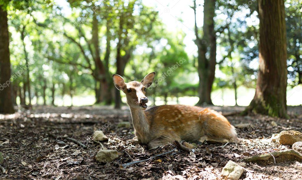 Little Deer in park
