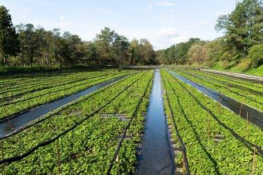 Green Wasabi field