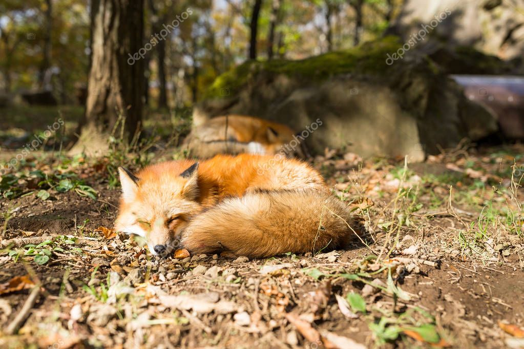 Red foxes sleeping in forest