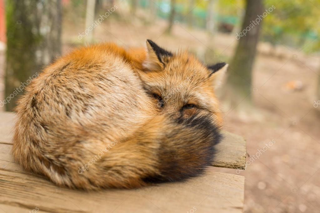 Sleeping red fox at outdoor
