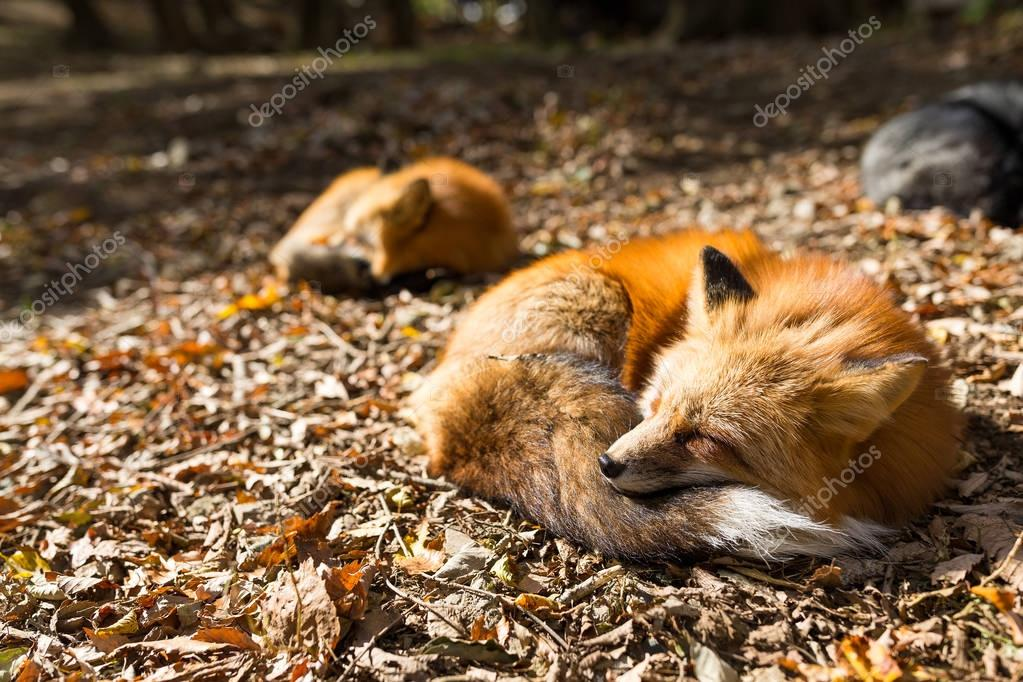 Red foxes sleeping at outdoor