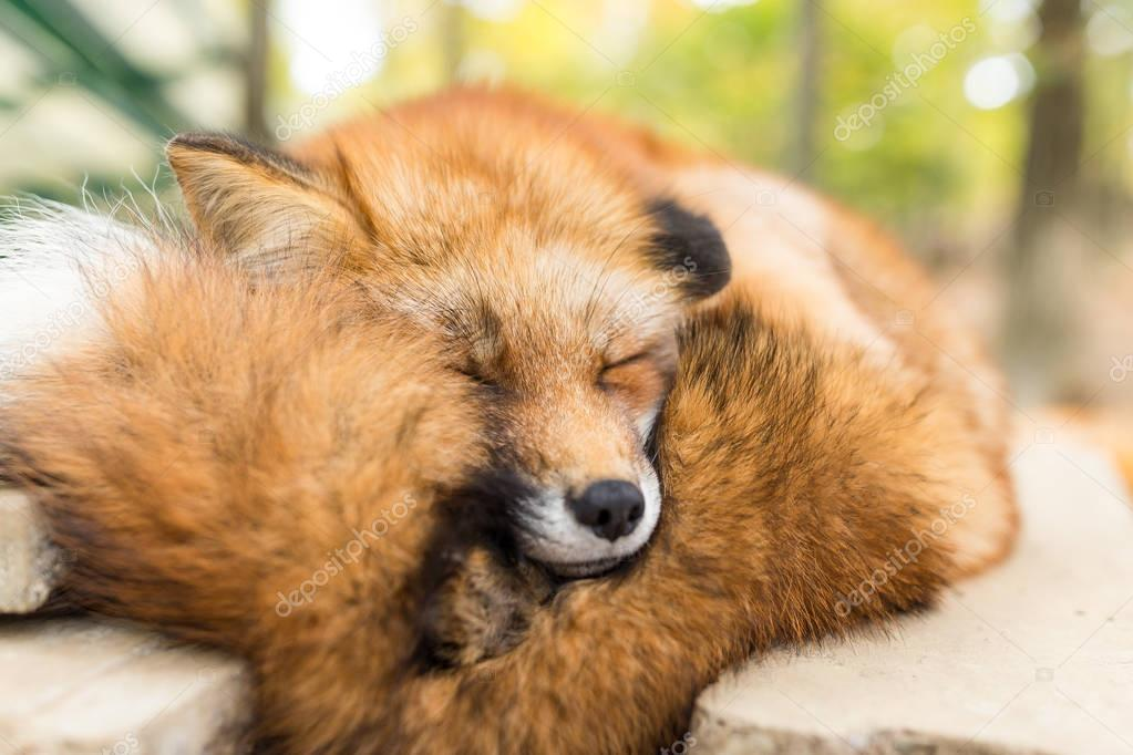 Sleepy fox at outdoor