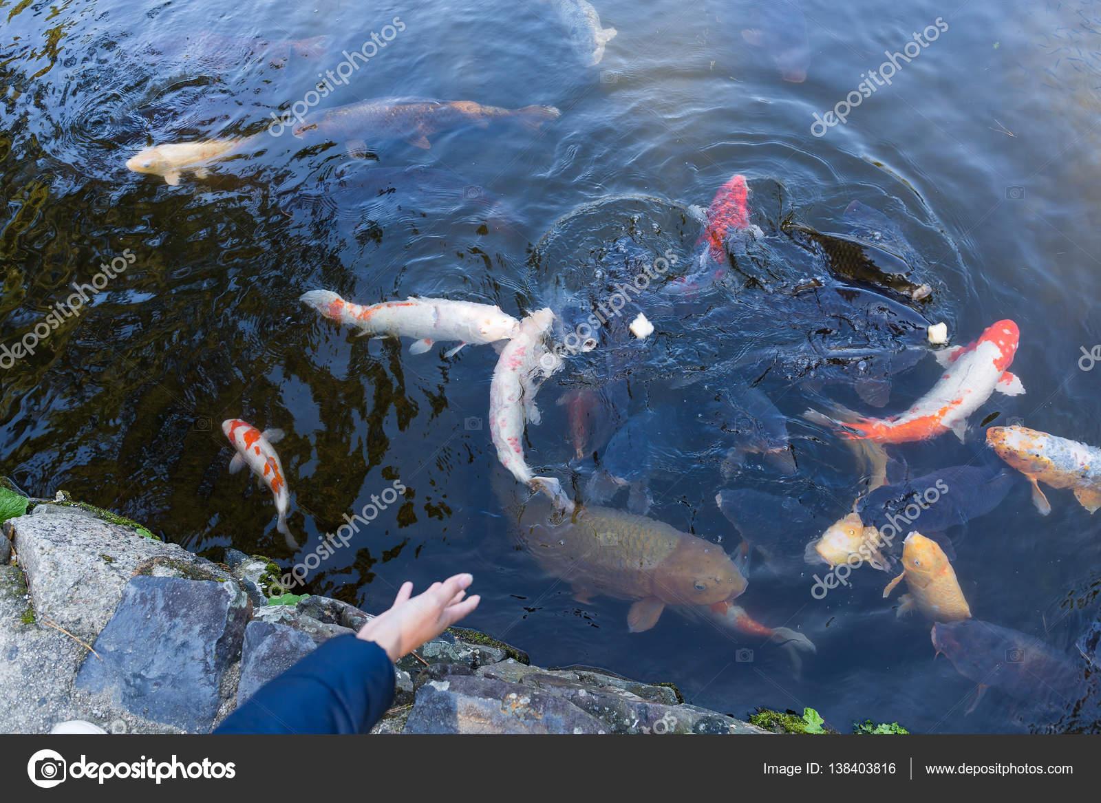 alimentacin de los peces en estanque koi u imagen de archivo