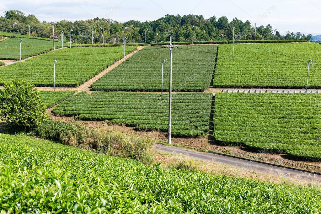 Tea green plantation