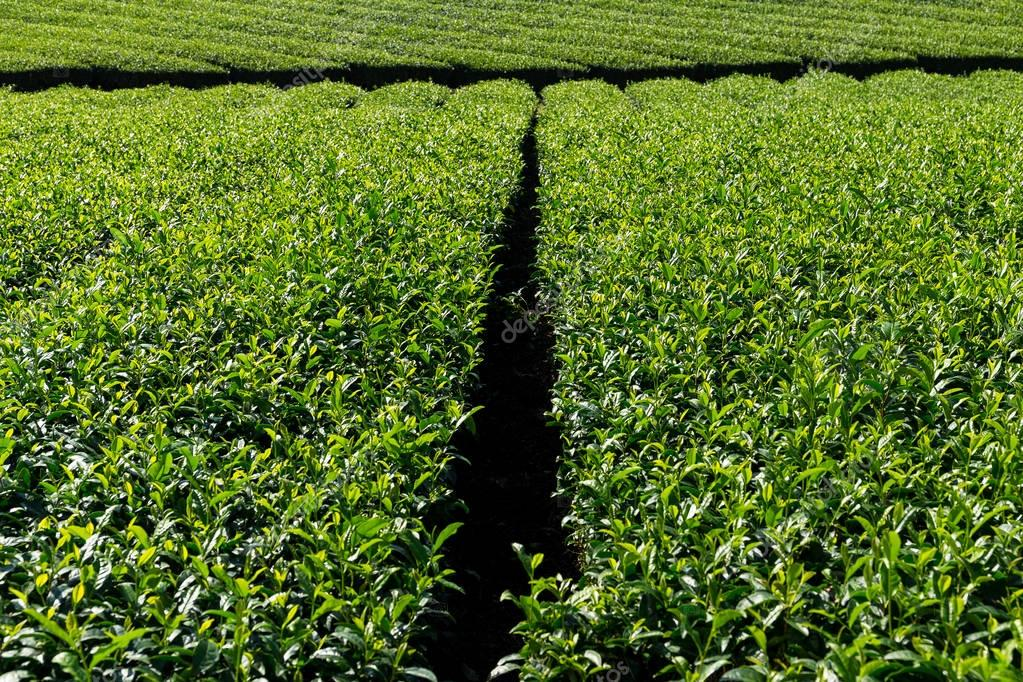 fresh green tea tree plantation