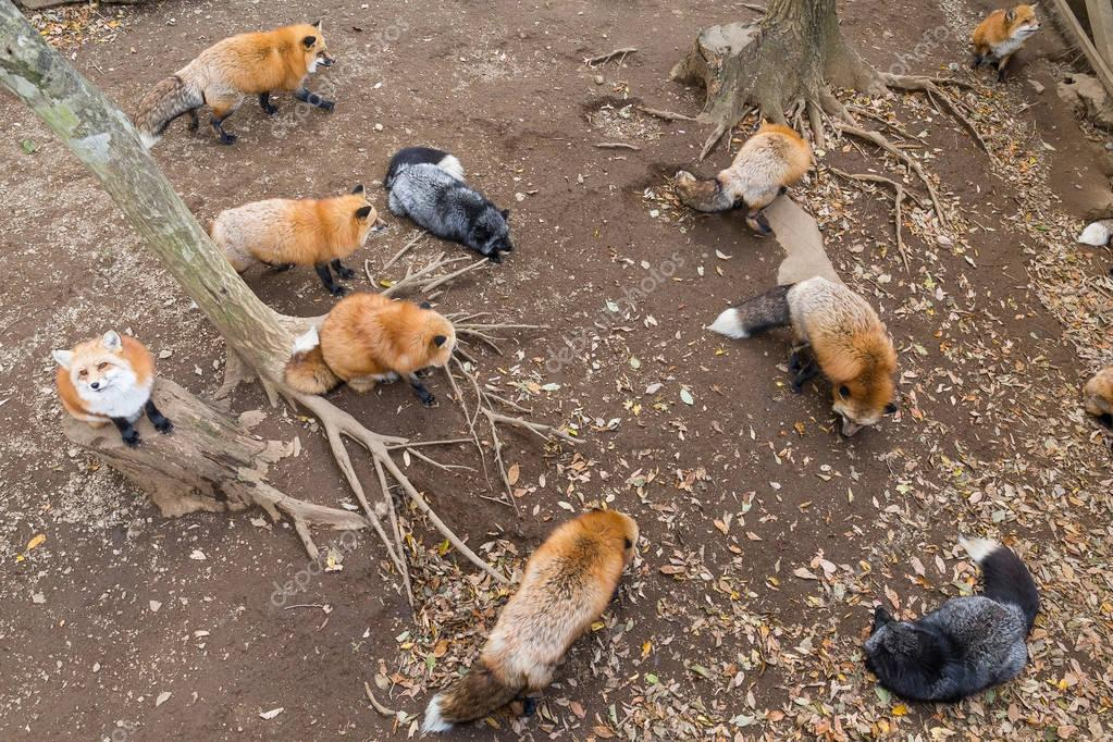 Many foxes eating together
