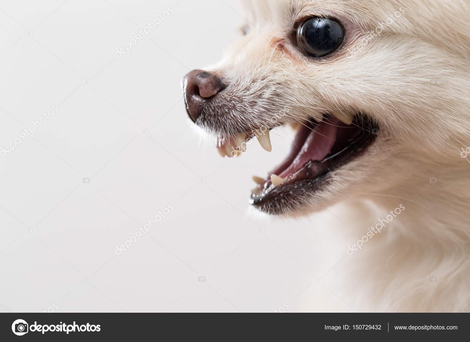Pomeranian Dog Showing Teeth Stock Photo C Leungchopan 150729432