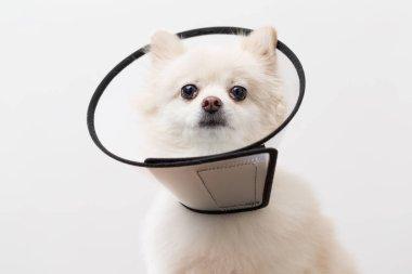 Pomeranian dog wearing protective collar