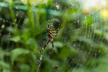 Spider on Web in green forest
