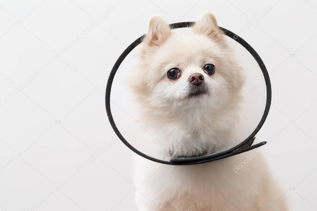 Pomeranian dog with space collar