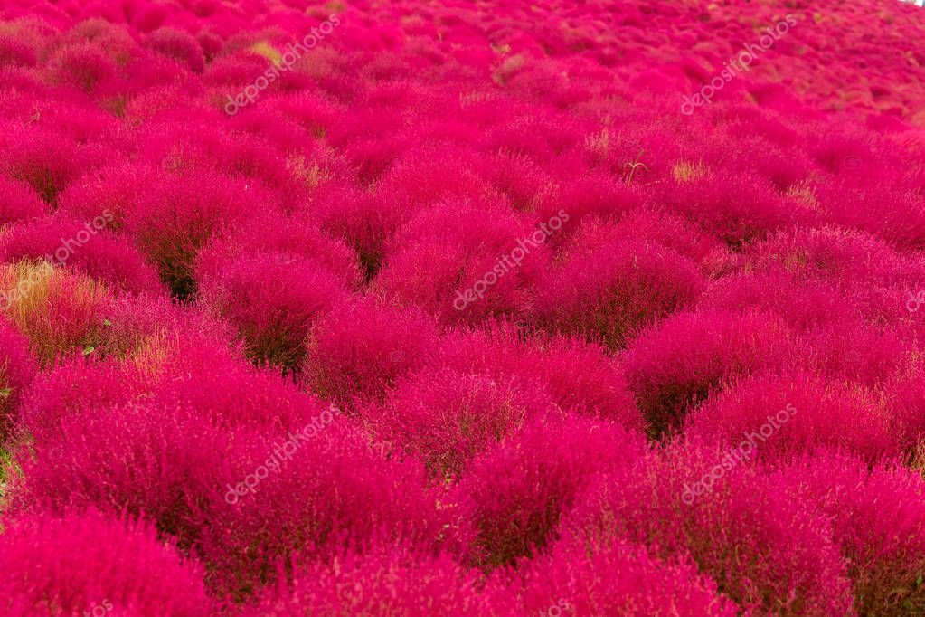 Kochia flowers in field