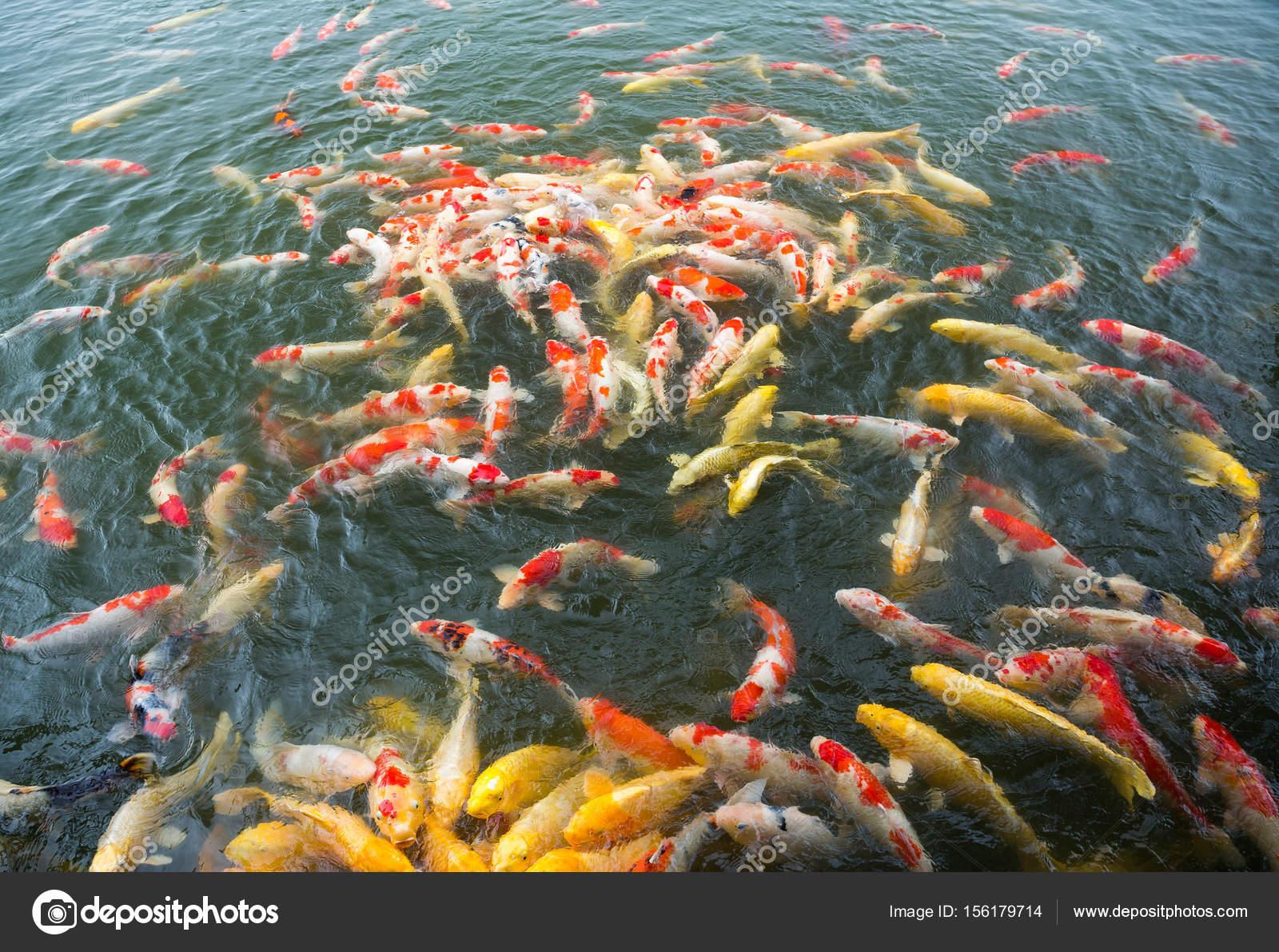 Vissen In Vijver : Veel koi vissen in vijver u stockfoto leungchopan