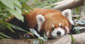 Cute red panda in forest