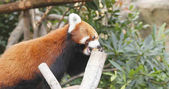 Red panda eating treat