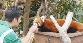 Ocean Park, Hong Kong - 09 prosince 2017: rozkošný červená panda hrající trenér