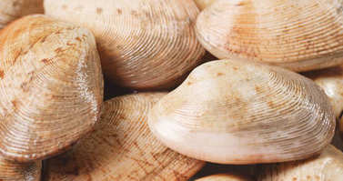 Uncooked clams seafood close up