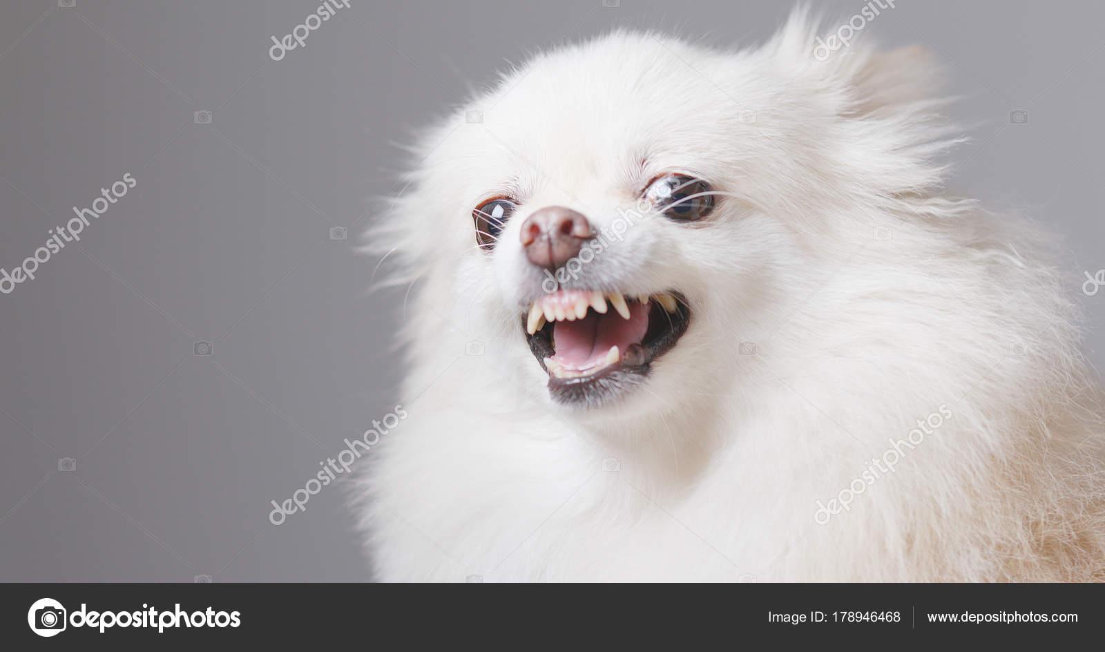 Angry pomeranian dog close stock photo leungchopan 178946468 angry pomeranian dog close up photo by leungchopan altavistaventures Images