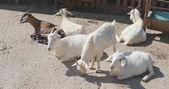 Fotografie White goats lying in farm