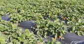 Fotografia Righe di campo di fragole fresche