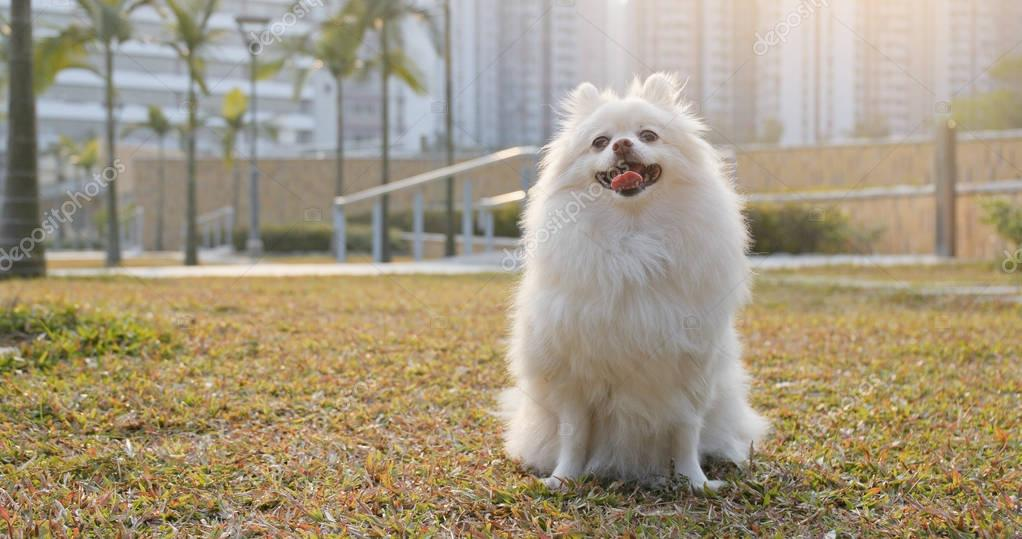 Cute pomeranian dog sitting on grass lawn