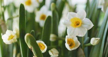 White narcissus flowers in garden