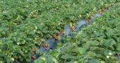 Fotografia Fresh strawberry field close up