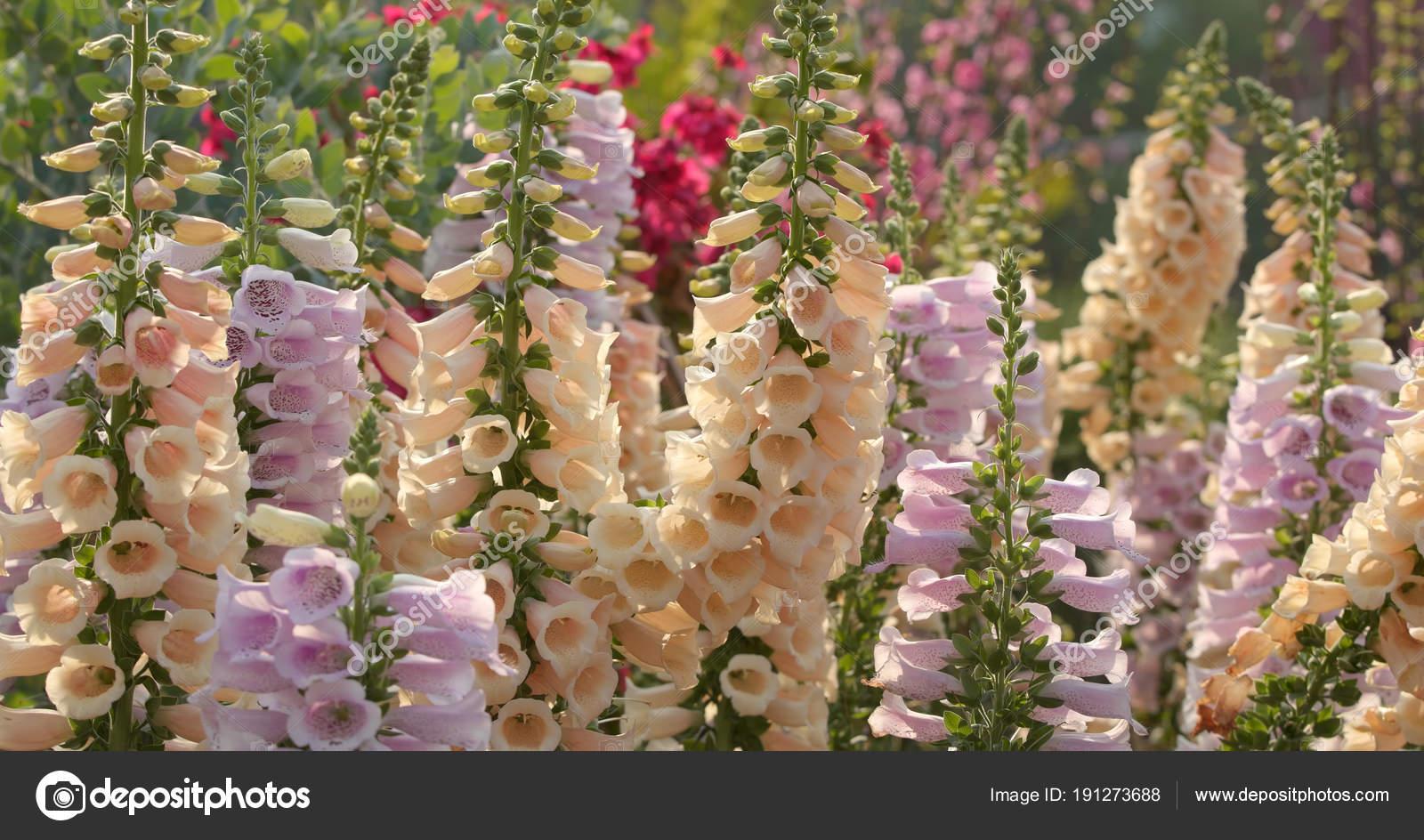 White Foxglove Flowers Garden — Stock Photo © leungchopan #191273688